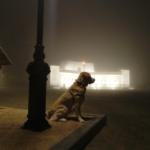 Куба в тумане. Золотистый ретривер - собака туманного Альбиона.