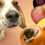 Как Куба персик с косточкой проглотил и что потом было
