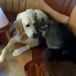 Как приучить кота к щенку. Делюсь своим опытом (+2 видео)