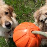 """""""У нас украли мячик"""" — любимая игра моих собак"""