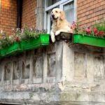 """""""Милый пес на балконе"""" пишет письмо моим собакам"""