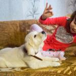 Золотистый ретривер - собака терапевт? Давайте разбираться.