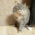 Манино обострение и Опрос: Кошки против Собак