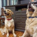 Горбатый жених для Ляльки, толстый Куба и способ утешения расстроеных собак