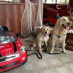 Нужно ли водить щенка на дрессировки, если есть старший послушный пёс?